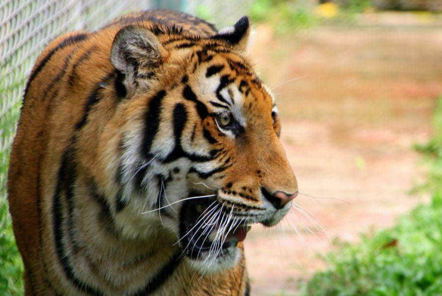 Thailand Chiang Mai Tiger Kingdom